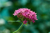 Pink tropical flower — Stock Photo