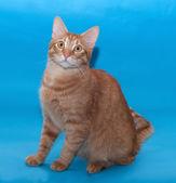 Vermelho gato sentado no azul — Fotografia Stock