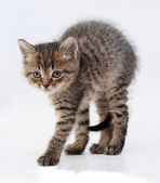 Small  tabby kitten worth arching his back on gray  — Zdjęcie stockowe