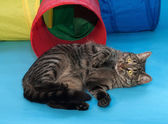 Striped cat lying beside toy tunnel on blue  — Stock Photo