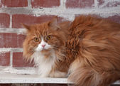 Haired fluffy cat on brick wall — Stock Photo