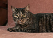 Tabby cat lying on couch — Stock Photo