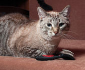 Striped cat lying on couch next to hairbrush — Stock Photo
