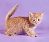 Red fluffy kitten standing on purple  — Fotografia Stock