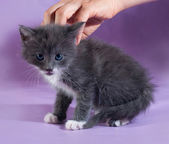Liten fluffig grå kattunge sitter på lila — Stockfoto