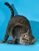 Tabby cat rubs face on the floor on blue  — Stock Photo