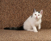White kitten with gray spots sitting on sofa — Stock Photo