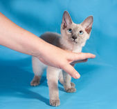 Curly small Cornish Rex kitten with blue eyes on blue  — Stock Photo