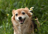 Redhead small dog standing in grass and daisies — Stock Photo