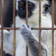 Captive Monkey - Stock Photo