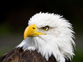 Portrait of an american bald eagle — Foto Stock