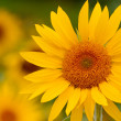 Stock Photo: Here comes the sun(flower)