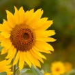 Here comes the sun(flower) — Stock Photo