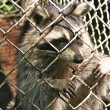 Stock Photo: Caged raccoon