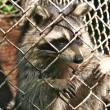 Caged raccoon - Stock Photo