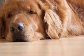 Sleepy dog — Stock Photo