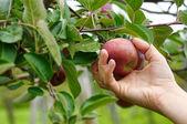 Picking apples — Stock Photo