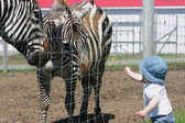 Baby girl feeding zebra — Stock Photo