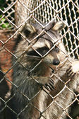 Caged raccoon — Stock Photo