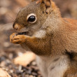 American red squirrel - Stock Photo