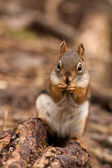 American red squirrel — Stock Photo