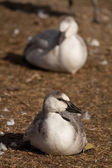 Snow geese fowl — Stock Photo