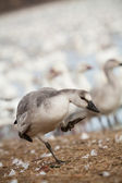 Snow goose fowl — Stock Photo