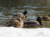 Ducks by the river — Stock Photo