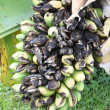 Rotten banana on the banana tree — Stock Photo