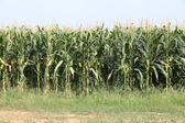Row of tall corn stalks ready for harvest — Stock Photo
