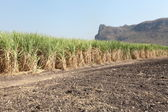 Row of sugarcane ready for harvest — Stock Photo