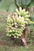 Banana on the banana tree overwhite background — Stock Photo