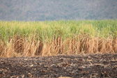 Field of sugarcane growing up at Thailand — Stock Photo