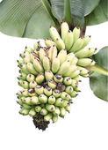 Isolated banana on the banana tree overwhite background — Stock Photo