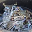 Close up of blue crab in the enameled basin — Stock Photo