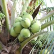 Постер, плакат: Green bushy coconuts on the tree