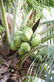 Green bushy coconuts on the tree — Stock Photo