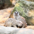 Stock Photo: Meerkat in Dusit Zoo,Bangkok Thailand.