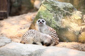 Meerkat in a Dusit Zoo,Bangkok Thailand. — Stock Photo