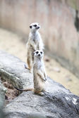 Surikate or Meerkat standing upright as Sentry — Stock Photo