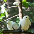 Stock Photo: Pied Imperial Pigeon
