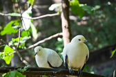 Pied Imperial Pigeon — Stock Photo