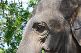 Elephant face — Foto de Stock