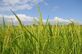 The beautiful rice fields — Stock Photo
