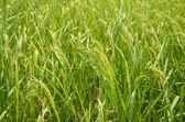 Rice paddy fields — Stock Photo