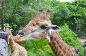 Giraffe in wild nature — Stock Photo