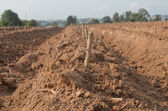 Start cultivation Cassava — Stock Photo
