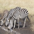 Thirsty Zebras — Stock Photo
