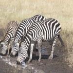 Постер, плакат: Thirsty Zebras