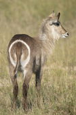 Waterbuck — Stock Photo